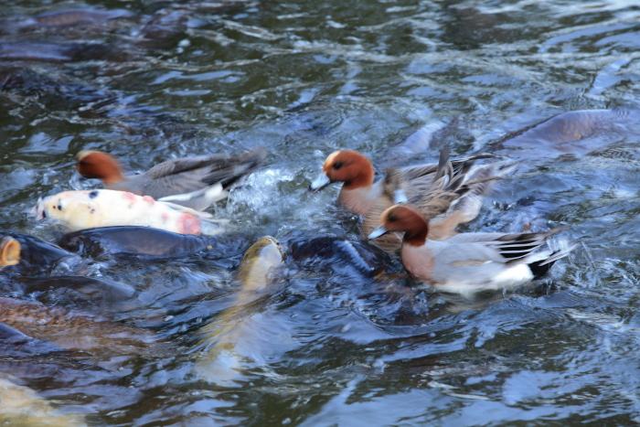 水前寺成趣園内の鴨と鯉_e0135098_847406.jpg