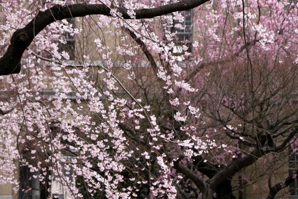2014花めぐり10 京都府庁_e0048413_2151433.jpg