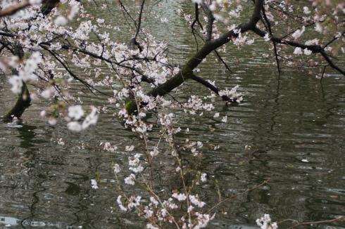 水に入る井の頭公園の桜も満開です。_f0006713_21253130.jpg