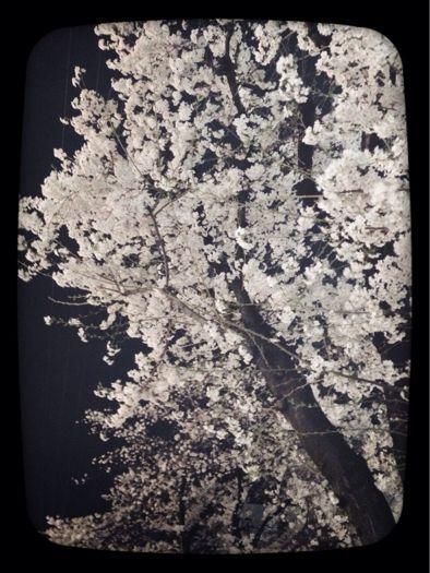 🌸桜・サクラ・櫻🌸_b0099226_7465978.jpg