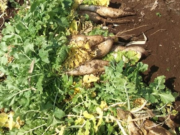冬野菜のアンカー...大根が終わりました。_b0137932_22112950.jpg
