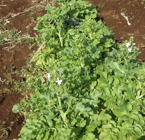冬野菜のアンカー...大根が終わりました。_b0137932_2294974.jpg