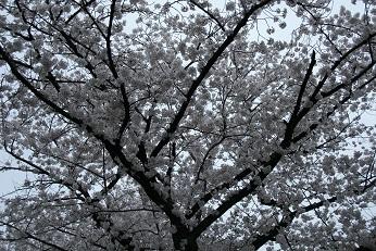 2014花見行いました_e0149436_21575170.jpg