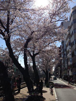 桜の季節になりました_f0140343_18133218.jpg