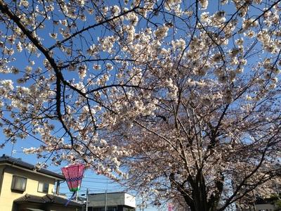 いきなりお花見シーズン突入!!?_a0221457_21101410.jpg