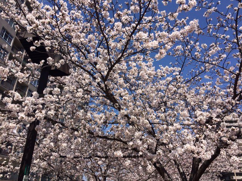 桜🌸3_e0233674_17482974.jpg