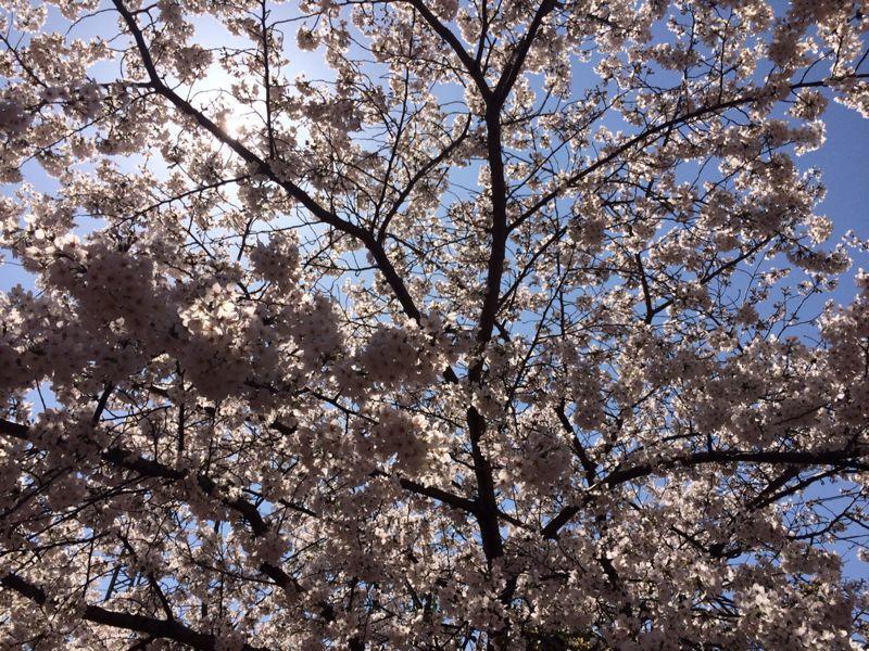 桜🌸3_e0233674_17484356.jpg