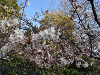 2014年の桜(3)_b0129897_10595640.jpg