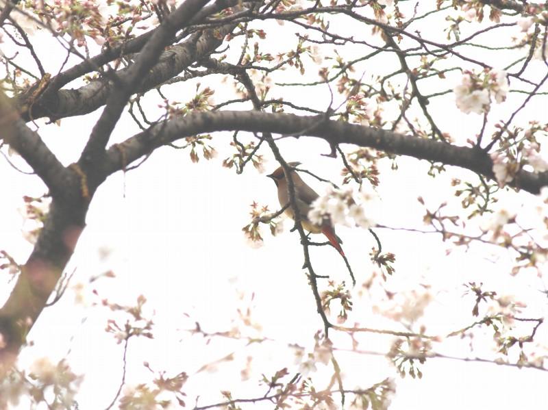 桜にレンジャク_b0223198_21231895.jpg