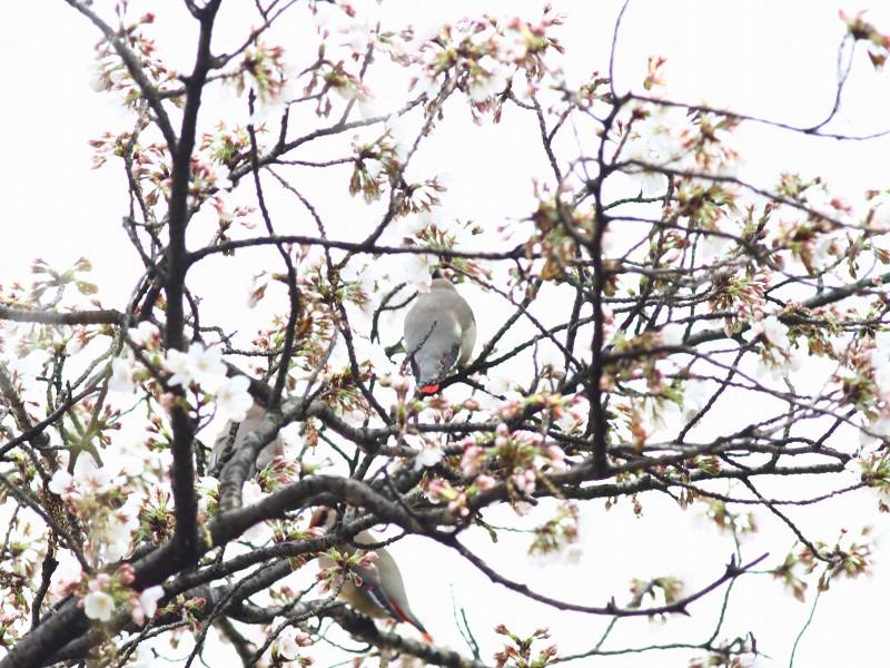 桜にレンジャク_b0223198_21233035.jpg