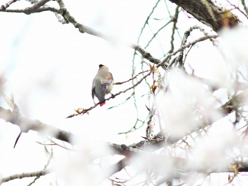 桜にレンジャク_b0223198_212341.jpg