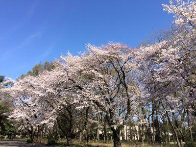 桜 満開ホ~ホケキョ!_d0260803_20244535.jpg