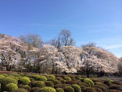 桜 満開ホ~ホケキョ!_d0260803_2024454.jpg