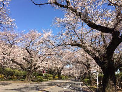 桜 満開ホ~ホケキョ!_d0260803_2024467.jpg