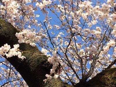 桜 満開ホ~ホケキョ!_d0260803_2024475.jpg