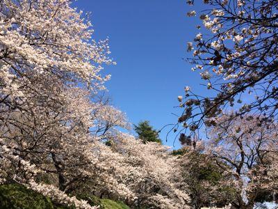 桜 満開ホ~ホケキョ!_d0260803_20244829.jpg
