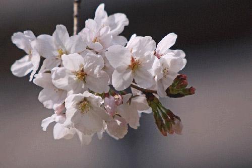 江戸川の春の便りは。_b0044115_8262388.jpg