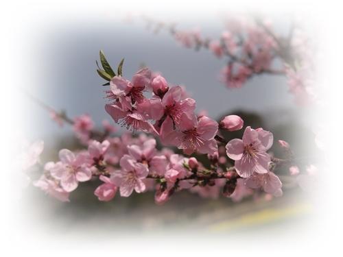 花盛りの吉備路_c0026824_177132.jpg