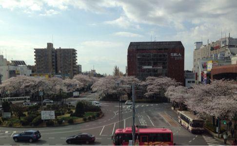 国立の桜🌸_b0203925_20354817.jpg