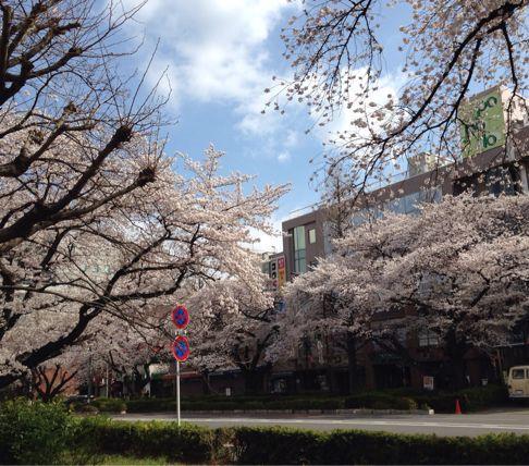 国立の桜🌸_b0203925_20354961.jpg