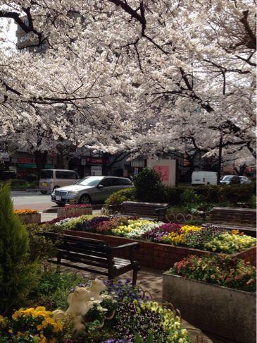 国立の桜🌸_b0203925_20355111.jpg