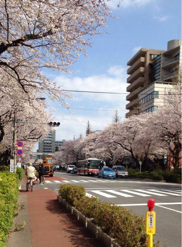 国立の桜🌸_b0203925_20355161.jpg