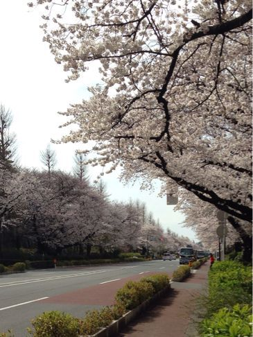 国立の桜🌸_b0203925_20355224.jpg