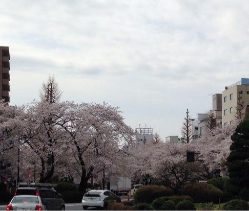 国立の桜🌸_b0203925_20355375.jpg