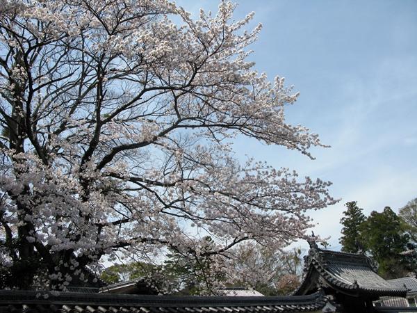おかげ横丁 おはらいまち 桜情報!_f0129726_23112662.jpg
