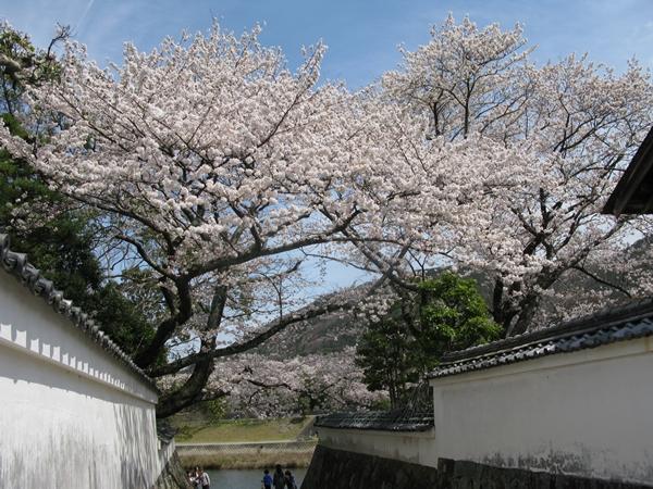 おかげ横丁 おはらいまち 桜情報!_f0129726_2354876.jpg