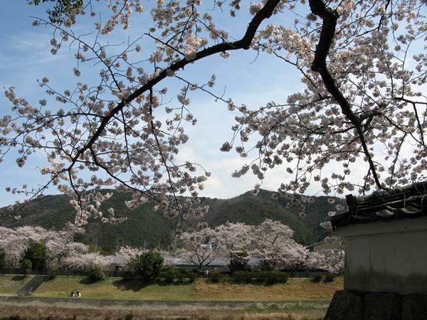 おかげ横丁 おはらいまち 桜情報!_f0129726_2361551.jpg