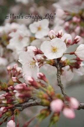 桜・桜・桜・桜。_c0127029_0482467.jpg