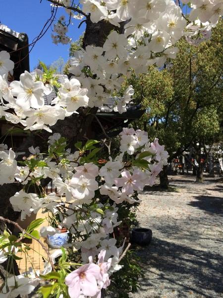2014 桜満開そしてシャガ_f0218831_15303134.jpg