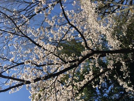 2014 桜満開そしてシャガ_f0218831_15304754.jpg