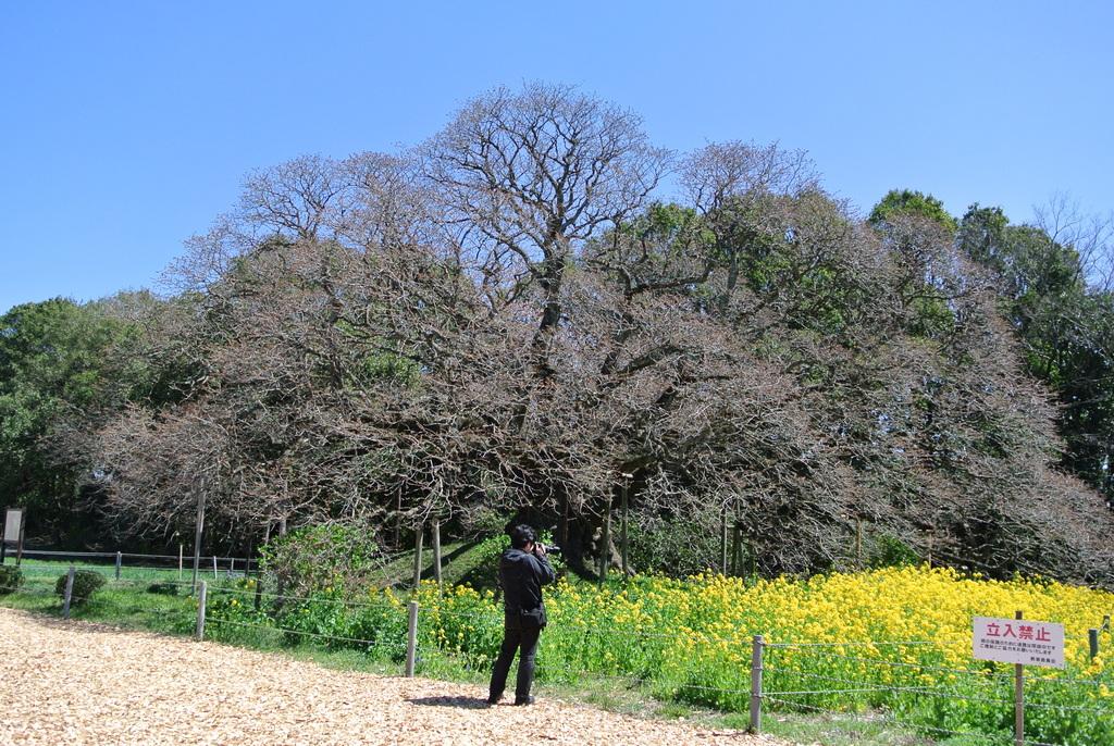吉高の大桜、小林牧場の桜_e0089232_20111721.jpg