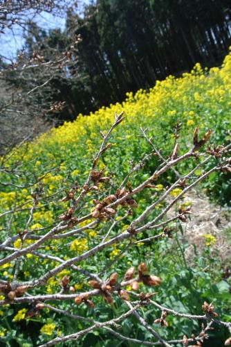 吉高の大桜、小林牧場の桜_e0089232_20111836.jpg