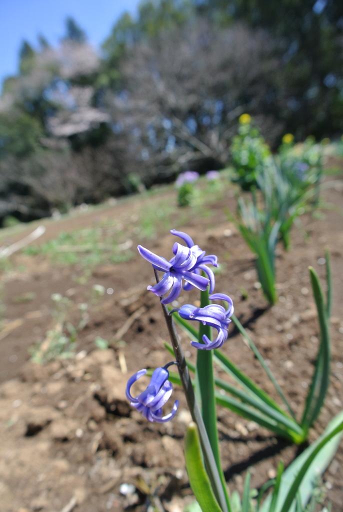 吉高の大桜、小林牧場の桜_e0089232_20111901.jpg