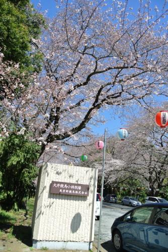 吉高の大桜、小林牧場の桜_e0089232_20111934.jpg