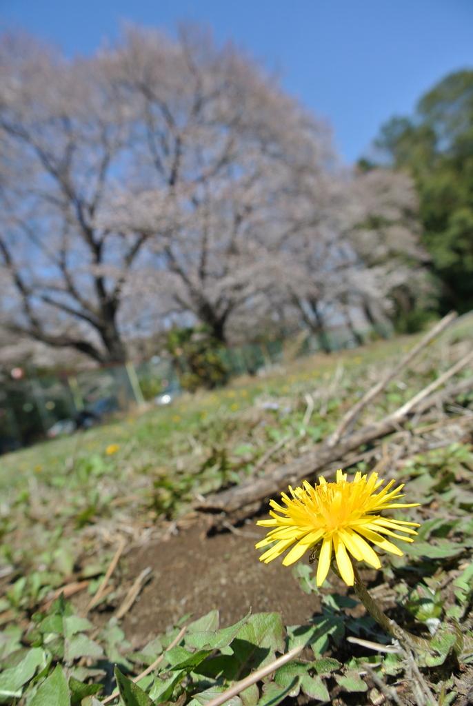 吉高の大桜、小林牧場の桜_e0089232_20111973.jpg