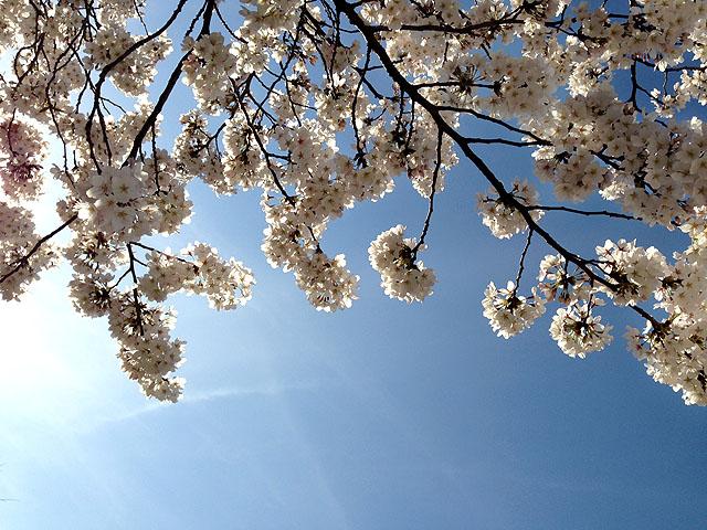 春爛漫 2014/03/31-mon_f0031535_1747377.jpg