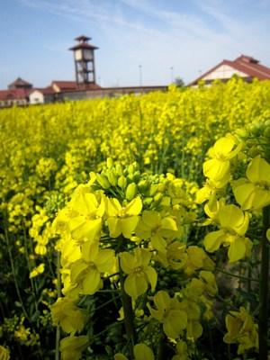 菜の花が見ごろです!_c0141652_18381368.jpg