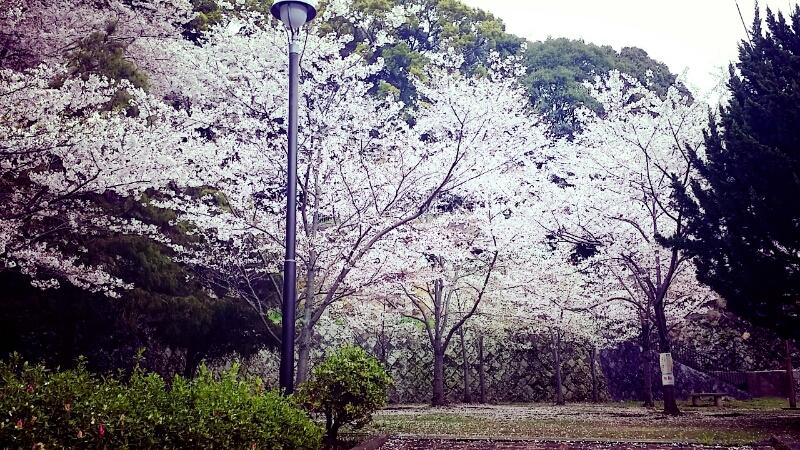 桜の季節_c0204262_11324159.jpg
