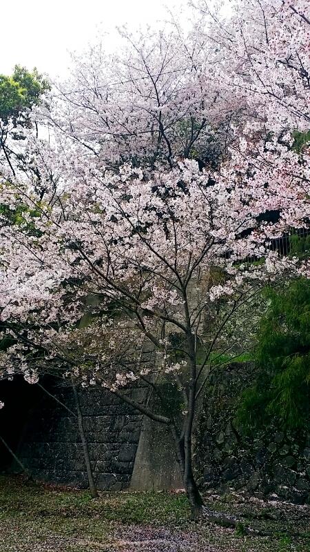 桜の季節_c0204262_1143155.jpg