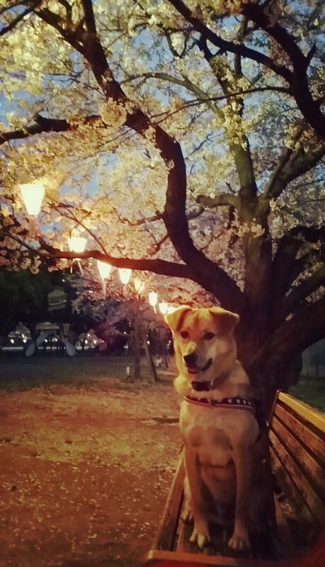 桜の季節_c0204262_11531828.jpg