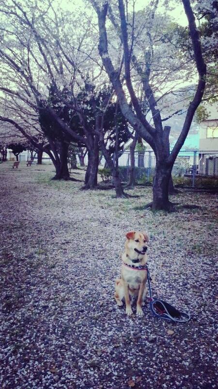 桜の季節_c0204262_11533166.jpg