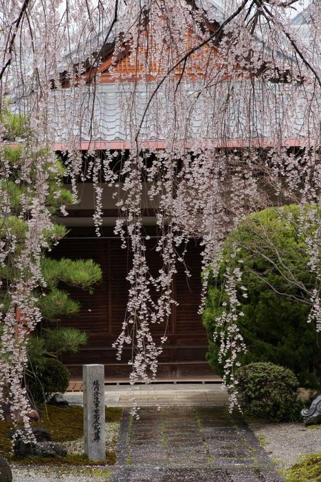 桜 2014 京都<本満寺>                   _f0021869_2313387.jpg