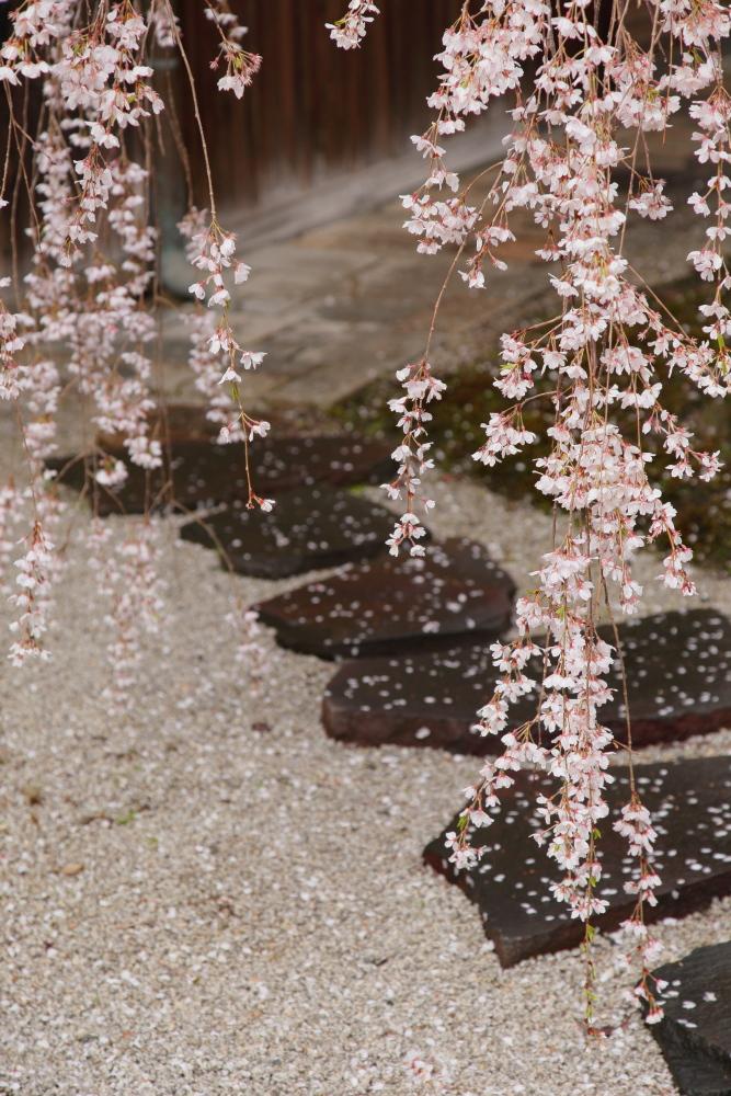 桜 2014 京都<本満寺>                   _f0021869_23134596.jpg