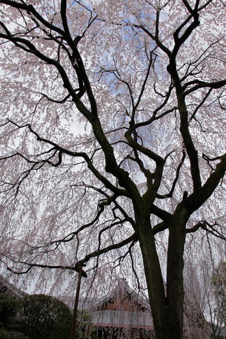桜 2014 京都<本満寺>                   _f0021869_23135094.jpg