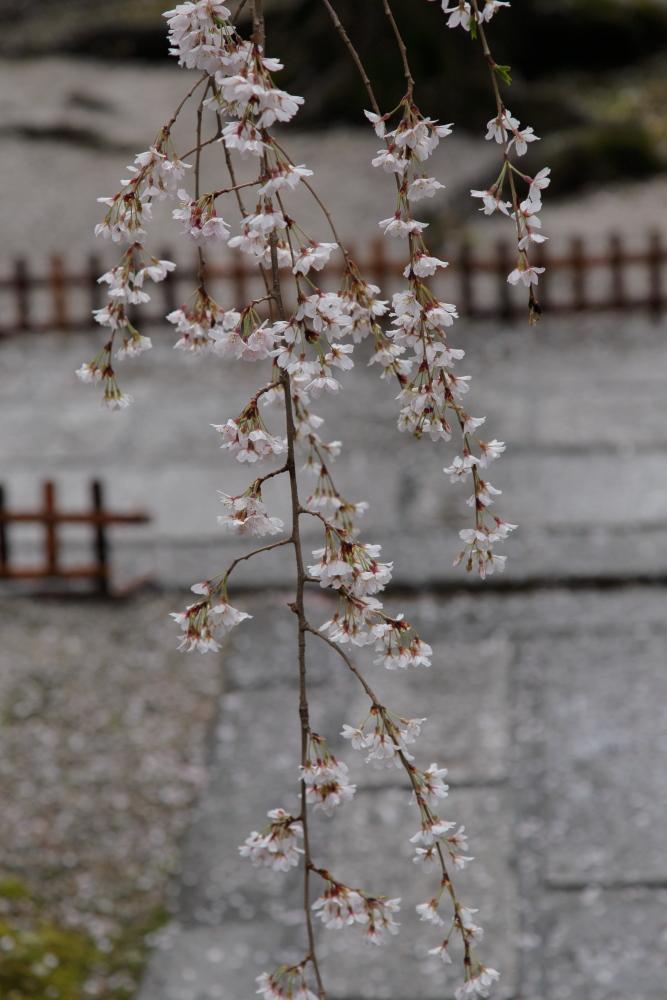桜 2014 京都<本満寺>                   _f0021869_2314379.jpg