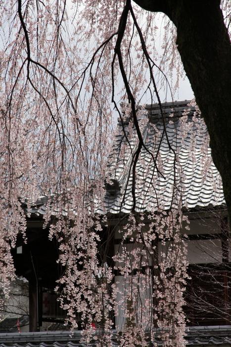 桜 2014 京都<本満寺>                   _f0021869_23154596.jpg